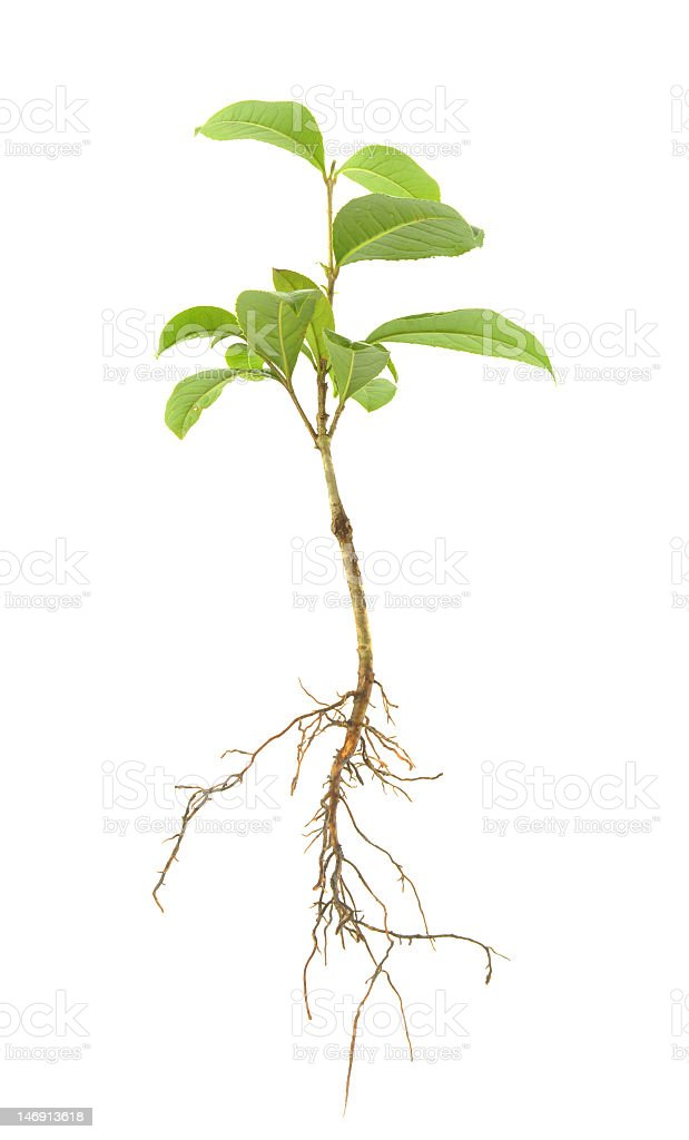 A small green leaved sapling and its roots stock photo