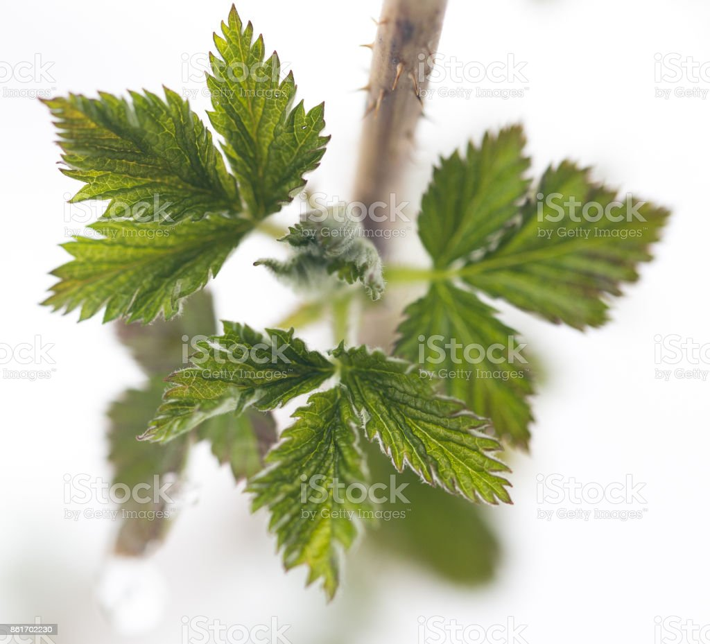 Small green leaves on a bush in the spring stock photo