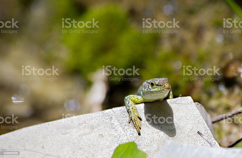 Kleines, grünes Eidechsenleder auf stein – Foto