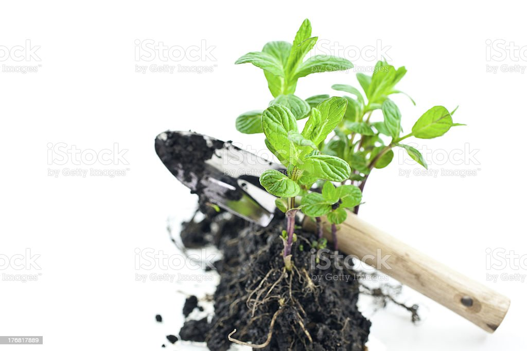 small green mint sprouts with shovel royalty-free stock photo