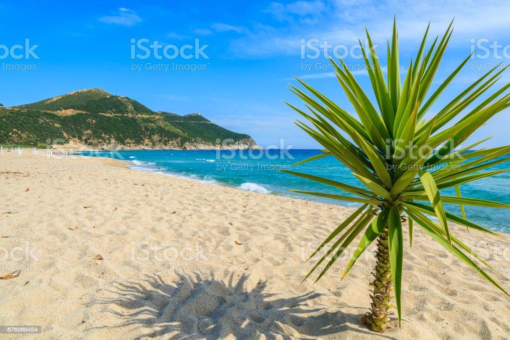 Small green palm tree on sand and view of blue sea, Capo Boi beach, Sardinia island, Italy stock photo
