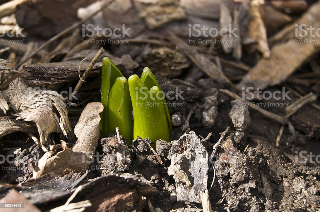 Small Green Sprouts, the First Sign of Spring royalty-free stock photo