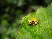 A small green tree frog sitting on a large leaf in a rain forest