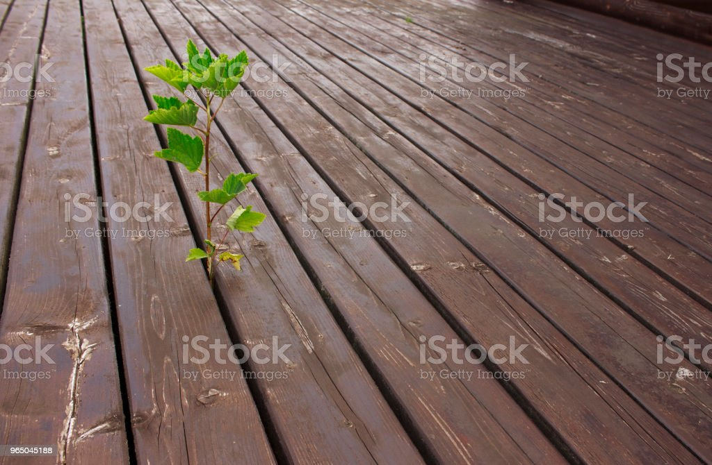 Small green tree grows through the cracks of wooden brown floor terrace zbiór zdjęć royalty-free