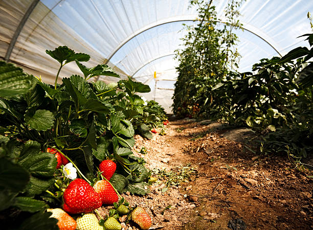 Small Greenhouse  strawberry field stock pictures, royalty-free photos & images