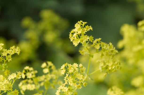 small greenish flowers of a lady´s mantle - przywrotnik zdjęcia i obrazy z banku zdjęć