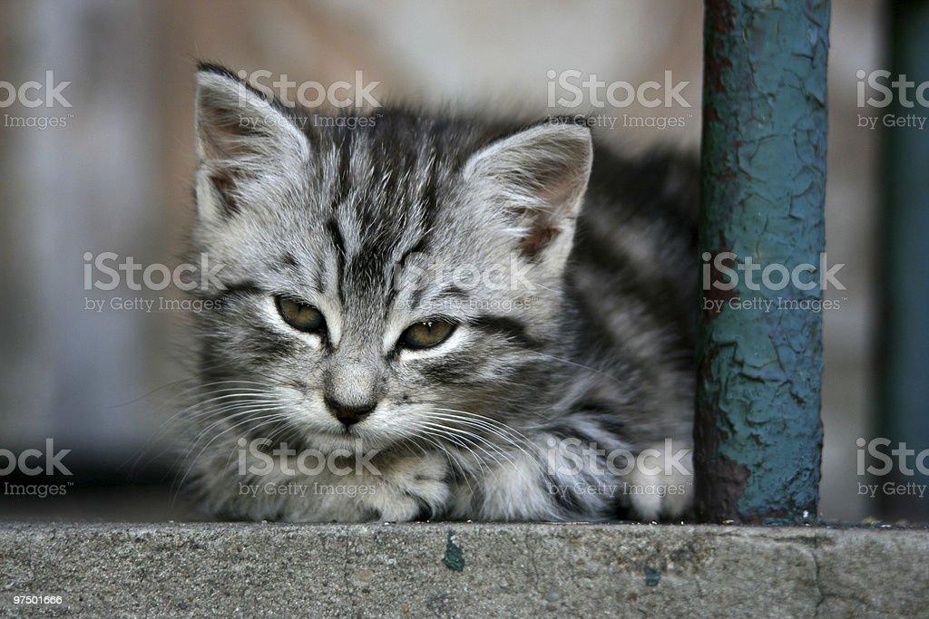 Small grey cat royalty-free stock photo