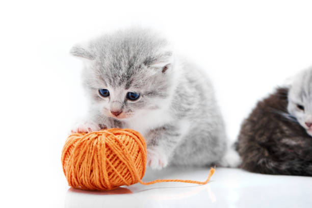 Small grey fluffy adorable kitten is playing with orange yarn ball picture id915586104?b=1&k=6&m=915586104&s=612x612&w=0&h=onfiznzgxvakok3u96yrjcarudrd9qe6gspxrq3jkwa=