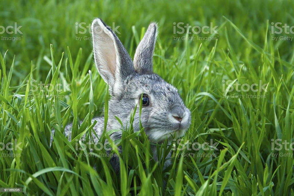 Small grey rabbit in tall green grass stock photo