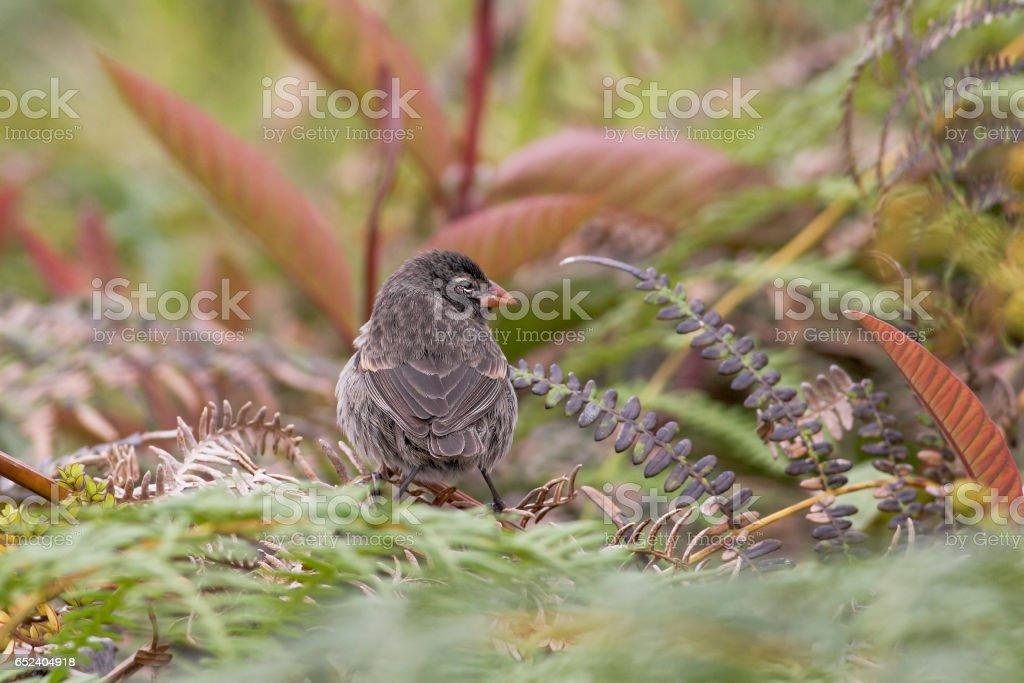 Small Ground Finch (Geospiza fuliginosa) female, Santa Cruz, Galapagos Islands stock photo
