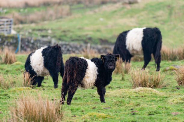 Small group of Belted Galloway Cattle stock photo