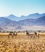 Small group of Hartmann's zebras in Namibian steppes with large mountains in the background.