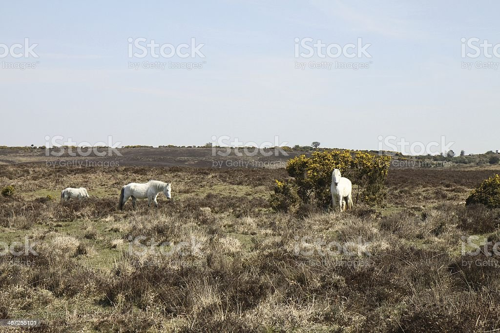 small group of horses  new forest national park royalty-free stock photo