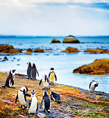 Small group of Jackass penguins socializing on mossy rock
