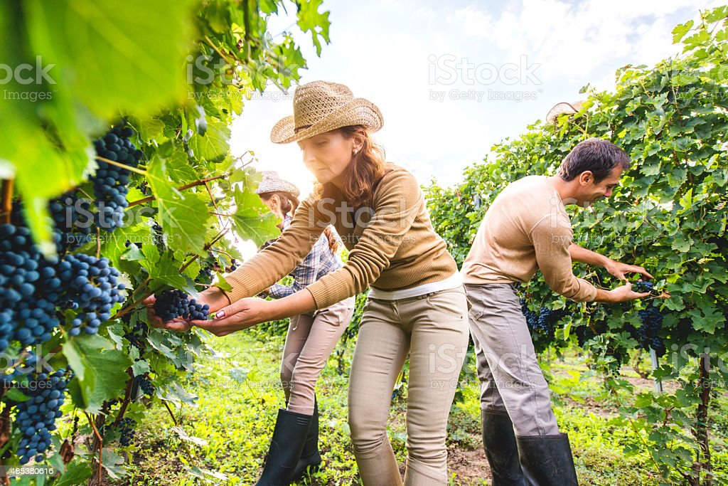 Small group of people picking grapes in vineyard. stock photo