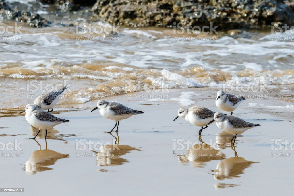 small group of Sandpipers (sanderlings) on the California beach. stock photo