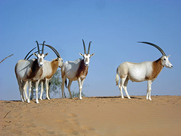 Small Group of Scimitar-horned oryx stock photo