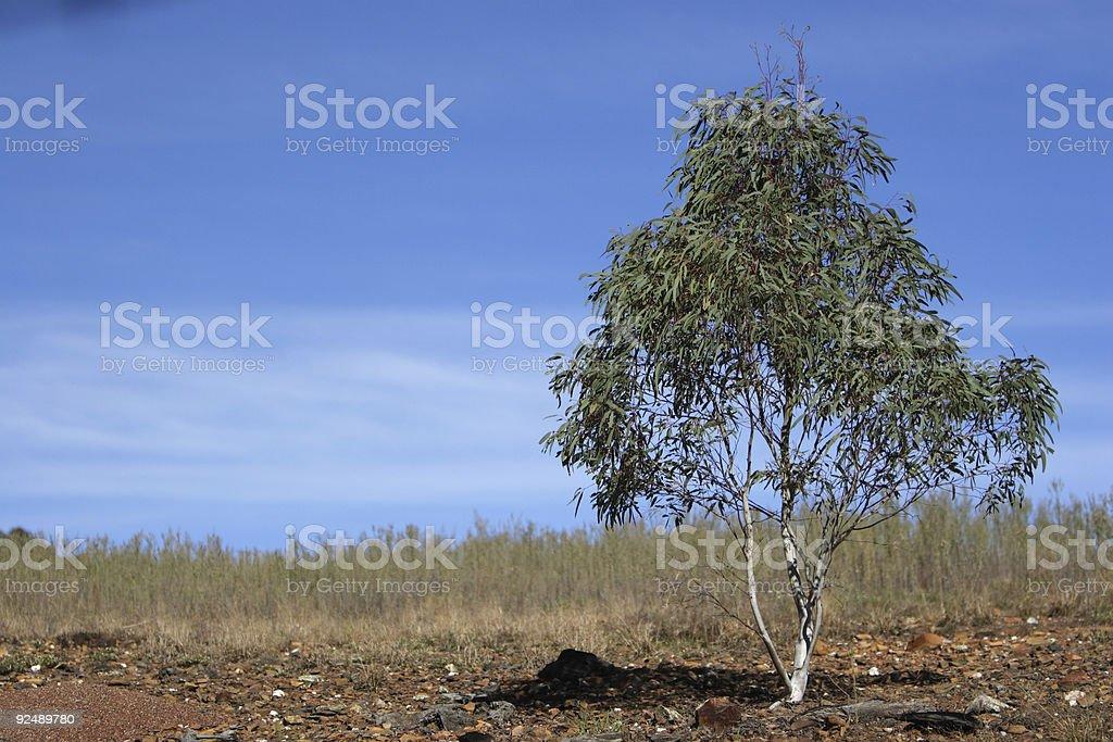 Small gum tree in Australia royalty-free stock photo