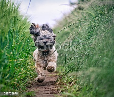 istock Small Hairy Dod running Through Field 1088722678