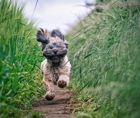 istock Small Hairy Dod running Through Field 1088722678