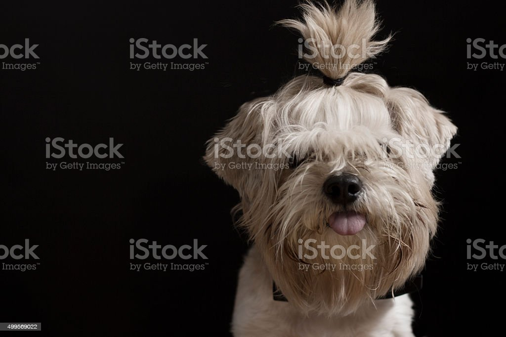 Small hairy dog with a pony tail stock photo