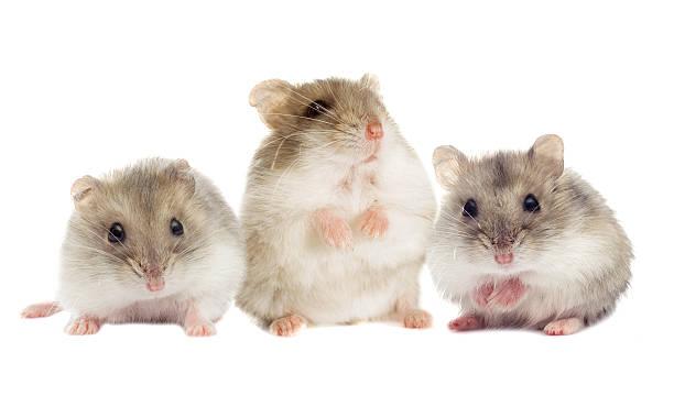 Kleine hamster – Foto