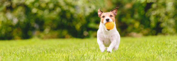 Small happy dog playing with pet toy ball at backyard lawn picture id1165213452?b=1&k=6&m=1165213452&s=612x612&w=0&h=pieyfwr2tzrtyfelx8m1telcktek09inxr41g5r0fhe=