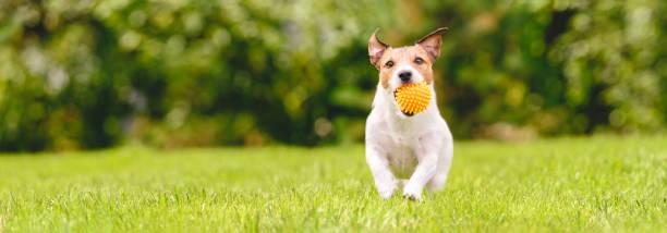 Kleine gelukkige hond spelen met Pet Toy bal op achtertuin gazon (panoramisch gewas met Kopieer ruimte) foto