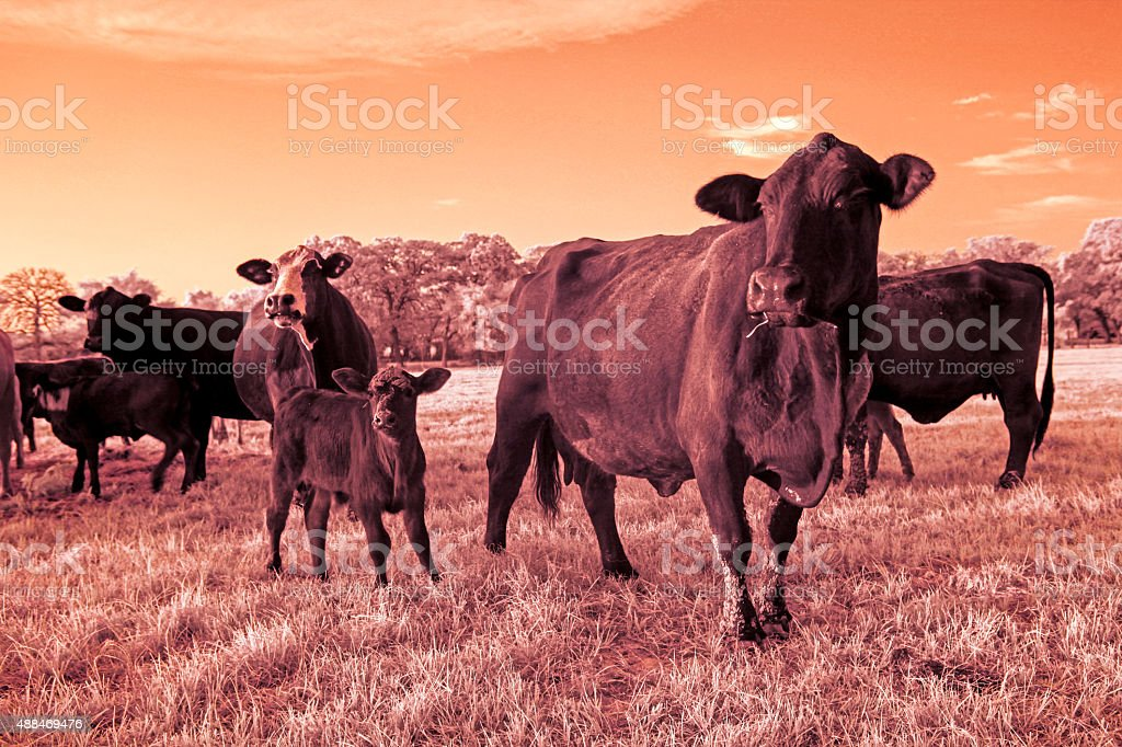 Small heard of cows stock photo
