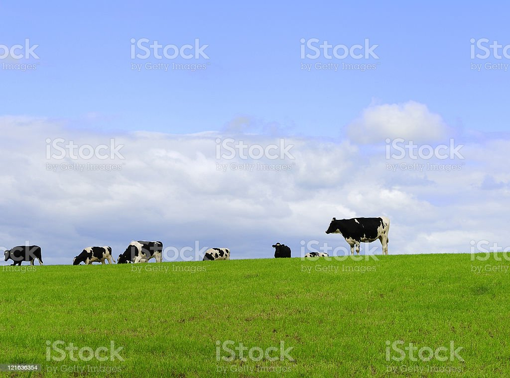 Small heard of Scottish dairy cattle in a field royalty-free stock photo