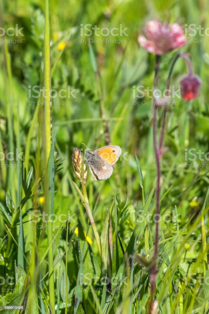 Small heath butterfly on the meadow flower royalty-free stock photo