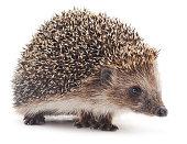 Small hedgehog.