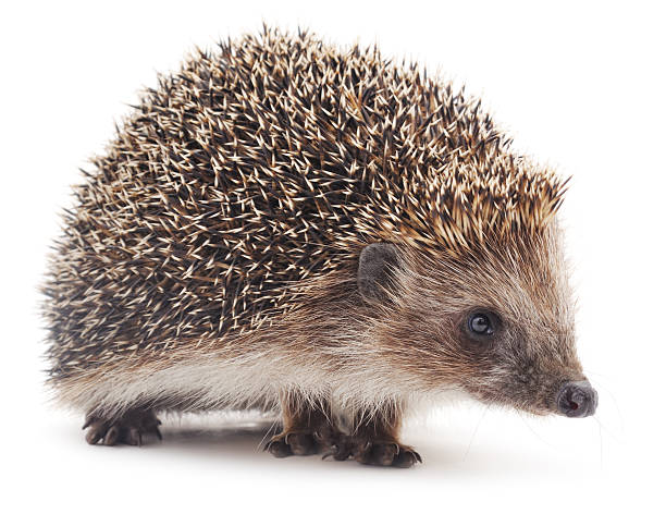Small hedgehog. - Photo
