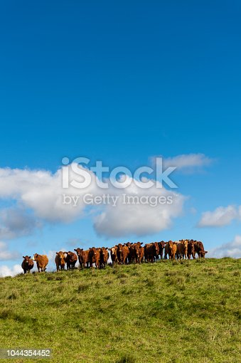 Beef cattle in Dumfries and Galloway, south west Scotland