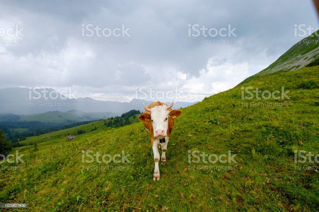 Pequeño Rebaño De Vacas Pastan En El Prado Alpino Foto de
