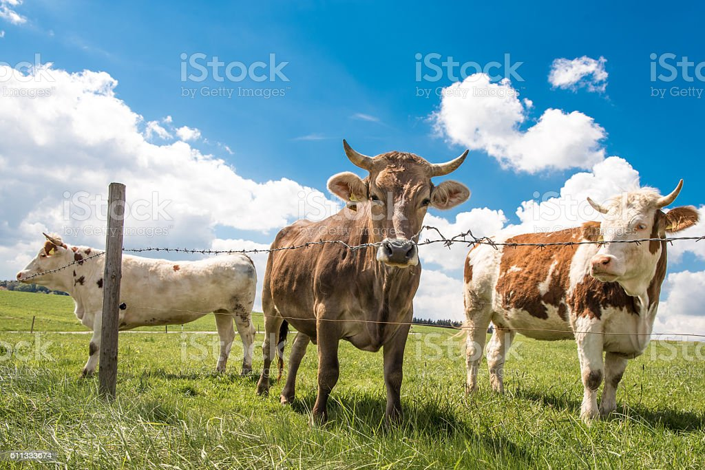 small herd of cows stock photo