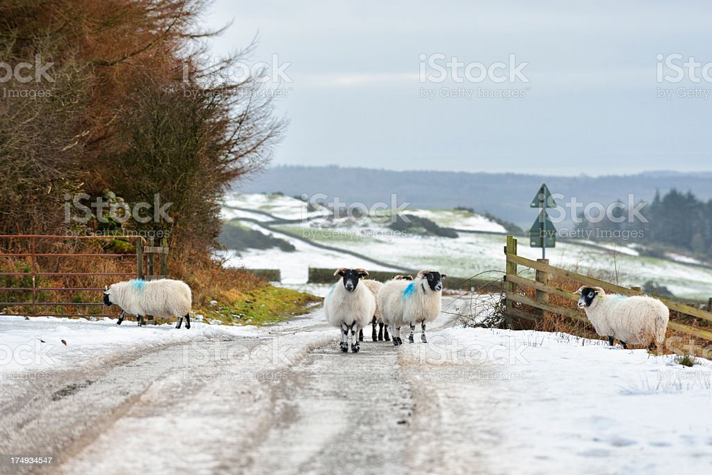 Winter rural Scottish scene with sheep and snow stock photo