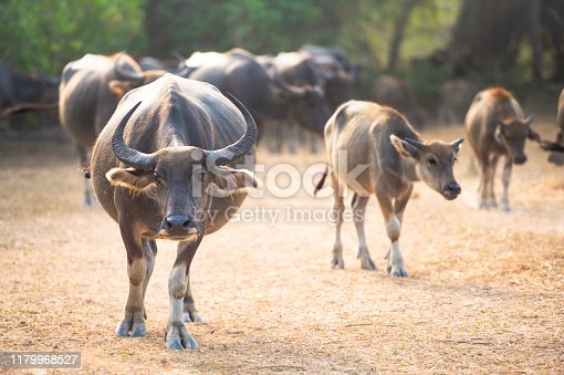Small herd of thai water buffalos