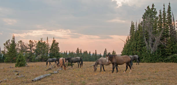 Small herd (band) of wild horses grazing on dry grass next to deadwood logs at sunset in the Pryor Mountains Wild Horse Range in Montana United States stock photo