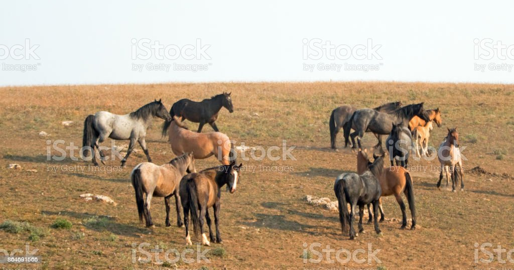 Small herds - bands of wild horses on hillside in the Pryor Mountains Wild Horse Range in Montana United States stock photo