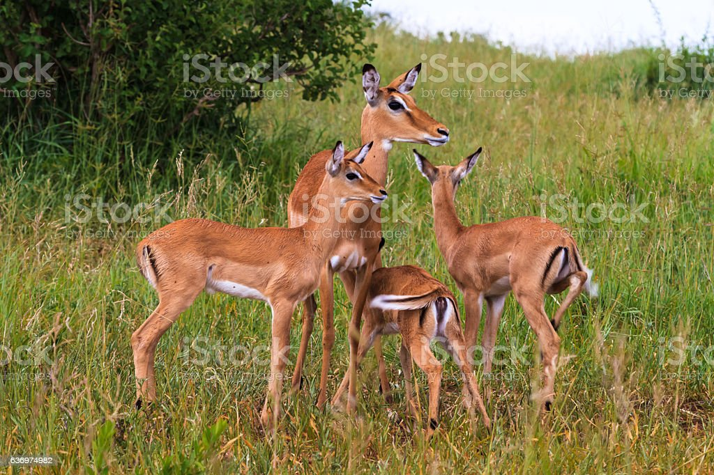 Small herds of impalas. Tarangire, Africa stock photo