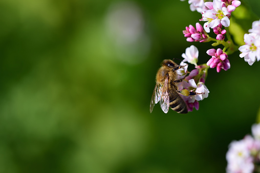 A small honeybee collects pollen from a flower against a green background with space for text