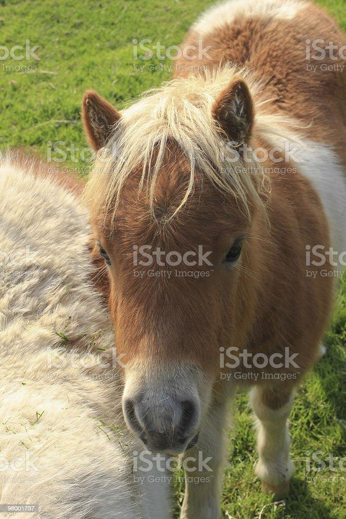 Small Horse royalty-free stock photo