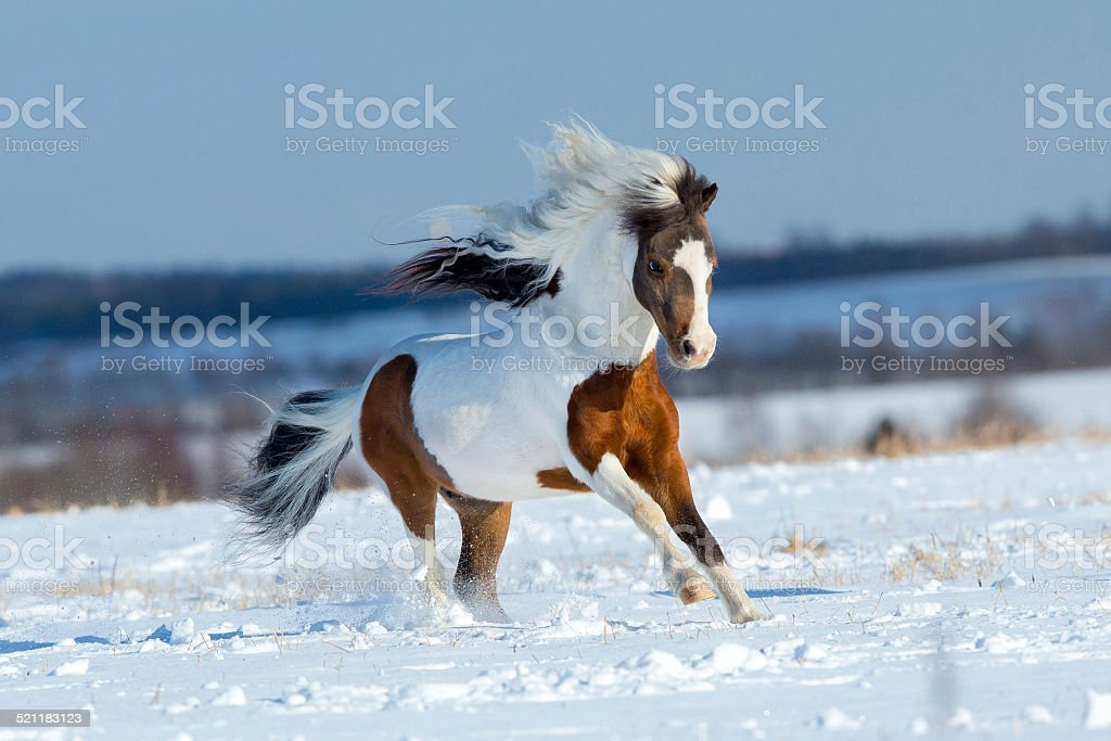 Small horse running in the snow in field stock photo