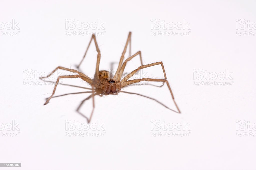 Small House Spider On White Stock Photo & More Pictures of 2015   iStock