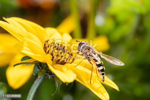 A small hover fly on a beautiful yellow flower - macro shot