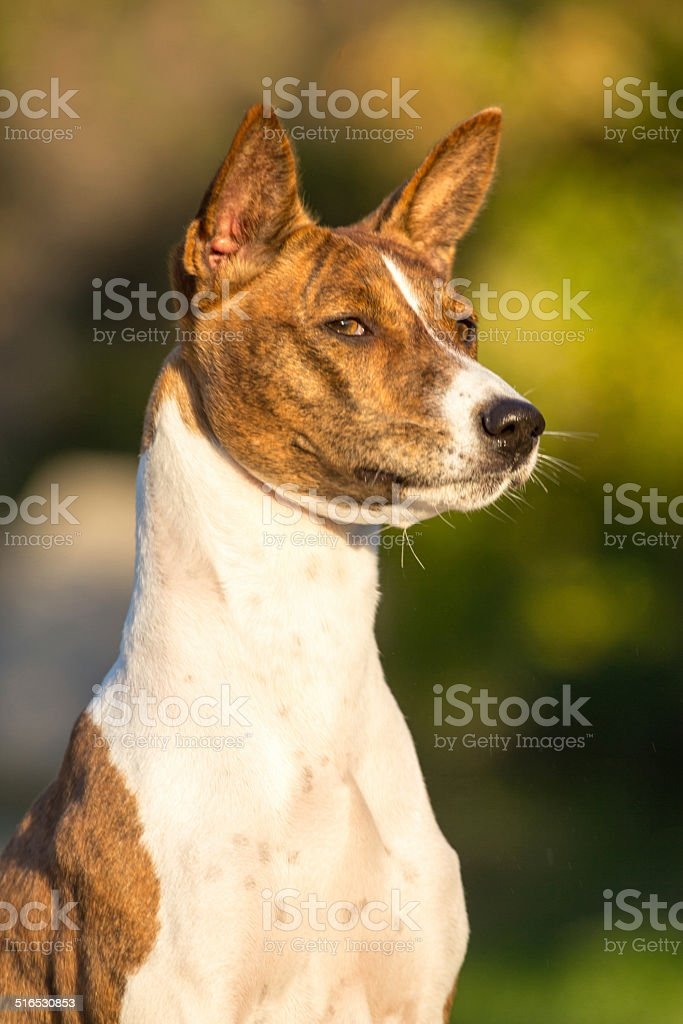 Small Hunting Dog Breed Basenji Stock Photo Download Image Now Istock