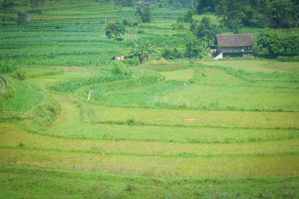 A small hut in the rice field stock photo