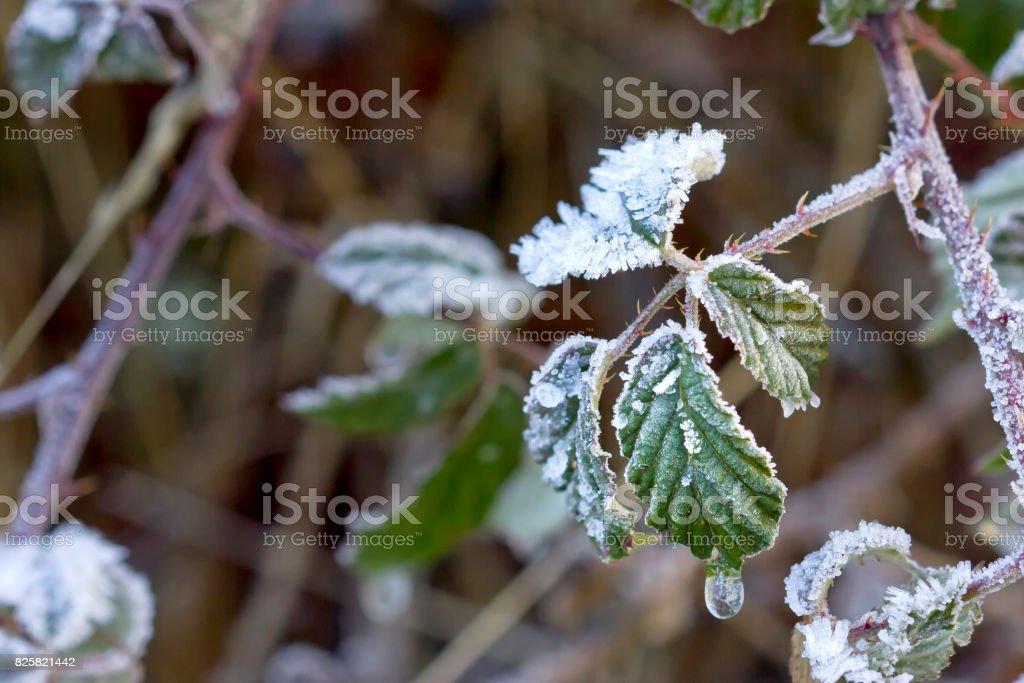 Cristales de hielo en hojas de zarzamora. - foto de stock