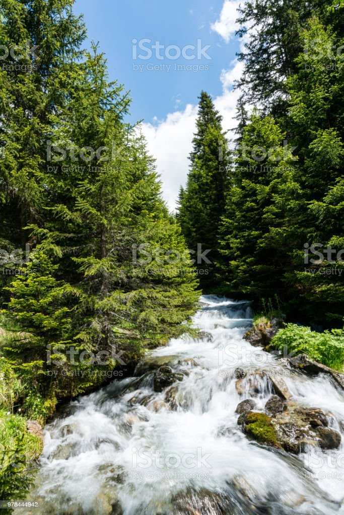 A small idyllic mountain stream in the middle of a pine forest in the...